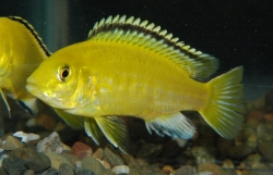 LABIDOCHROMIS ELECTRIC YELLOW - Click for more info