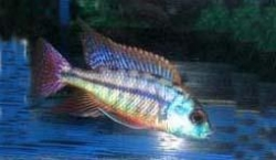 PROTOMELAS TAENIOLATUS RED EMPRESS - Click for more info