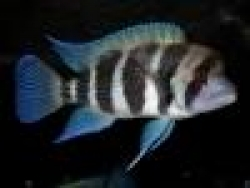 CYPHOTILAPIA FRONTOSA 6 BAR TANK BRED - Click for more info