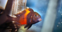 TROPHEUS BEMBA RED (T.sp.black) - Click for more info