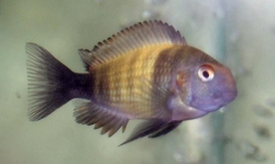 TROPHEUS KAISER 1 (T.sp.ikola) - Click for more info