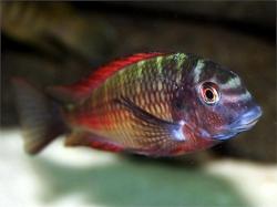 TROPHEUS MOLIRO (T.sp.red) - Click for more info