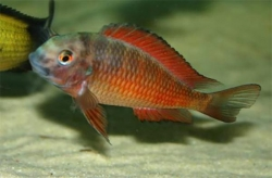 TROPHEUS MOLIRO (T.sp.red) - Click for more info
