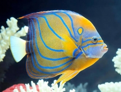 BLUE RING ANGELFISH (IND) - Click for more info