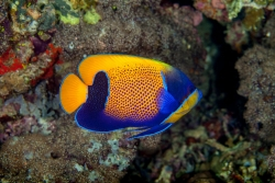 MAJESTIC ANGELFISH ADULT (IND) - Click for more info
