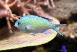 GREEN CHROMIS (IND) - Click for more info