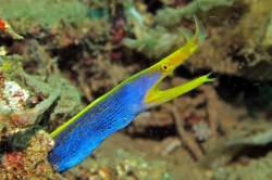 RIBBON EEL (BLUE) (IND) - Click for more info