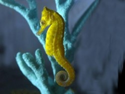 TROPICAL SEAHORSE (H.KUDA) - Click for more info