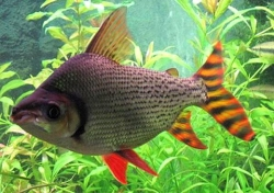 FLAGTAIL PROCHILODUS RED FINNED - Click for more info
