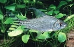 SILVER FLAGTAIL PROCHILODUS - Click for more info