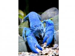 ELECTRIC BLUE YABBY - Click for more info