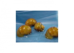 GOLD MYSTERY SNAIL SMALL - Click for more info