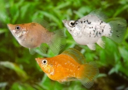 ASSORTED BALLOON MOLLY - Click for more info