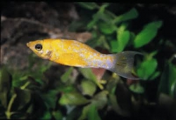 YELLOW VARIEGATED MOLLY - Click for more info
