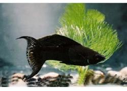 L.T. BLACK MINI MOLLY - Click for more info