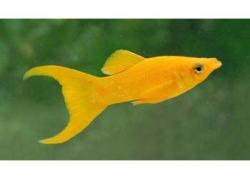 L.T. GOLD NUGGET MINI MOLLY - Click for more info
