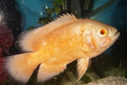 ALBINO RED OSCAR - Click for more info