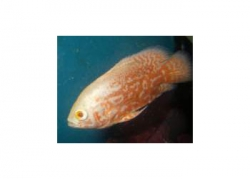 ALBINO RED TIGER OSCAR - Click for more info