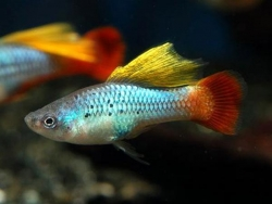 ASSORTED HIFIN PLATY - Click for more info