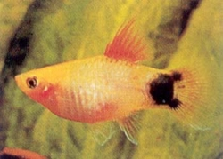ASSORTED MICKEY MOUSE PLATY - Click for more info