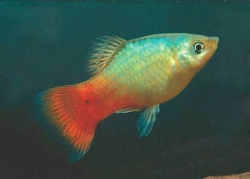 BLUE CORAL PLATY - Click for more info