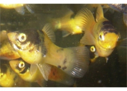 BUMBLE BEE PLATY - Click for more info