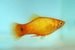 GLOWLIGHT SUNSET PLATY - Click for more info