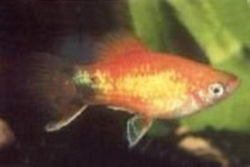 GLOWLIGHT SUNSET MICKEY MOUSE PLATY - Click for more info