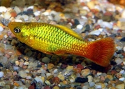 GREEN VARIATUS PLATY - Click for more info
