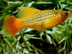 GREEN HIFIN VARIATUS PLATY - Click for more info