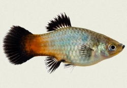 RAINBOW WAGTAIL PLATY - Click for more info