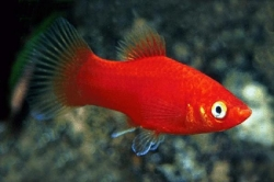RED PLATY - Click for more info