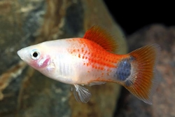 RED & WHITE MICKEY MOUSE PLATY - Click for more info