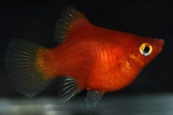 RED CORAL BALLOON PLATY - Click for more info