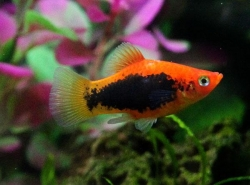 RED TUXEDO PLATY - Click for more info