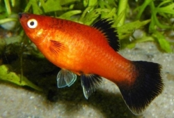 RED WAGTAIL PLATY - Click for more info