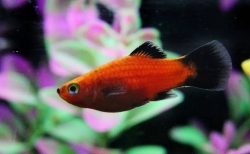 RED WAG BALLOON PINTAIL PLATY - Click for more info