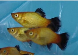 SUNSET WAGTAIL PLATY - Click for more info