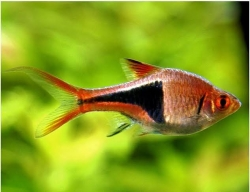 GOLD/COPPER HARLEQUIN RASBORA - Click for more info