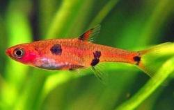 SPOTTED RASBORA (R.MACULATA) - Click for more info