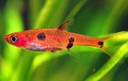 SPOTTED RASBORA (R.MACULATA) - Click for more info