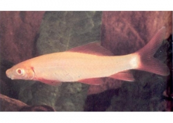 GOLDEN SHARK (ALBINO RAINBOW) - Click for more info