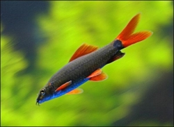 RAINBOW SHARK - Click for more info