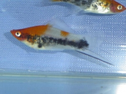 ASSORTED KOI SWORDTAIL - Click for more info
