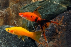 ASSORTED LYRETAIL SWORDTAIL - Click for more info