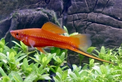 ASSORTED MALE SWORDTAIL - Click for more info