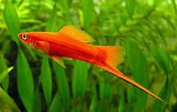 RED SWORDTAIL - Click for more info