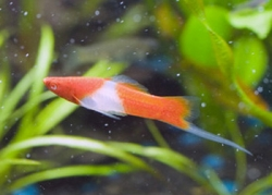 RED & WHITE KOI SWORDTAIL - Click for more info