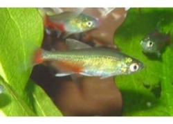 RATHBUNI BLOODFIN TETRA - Click for more info