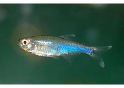 COCHUS BLUE TETRA - Click for more info